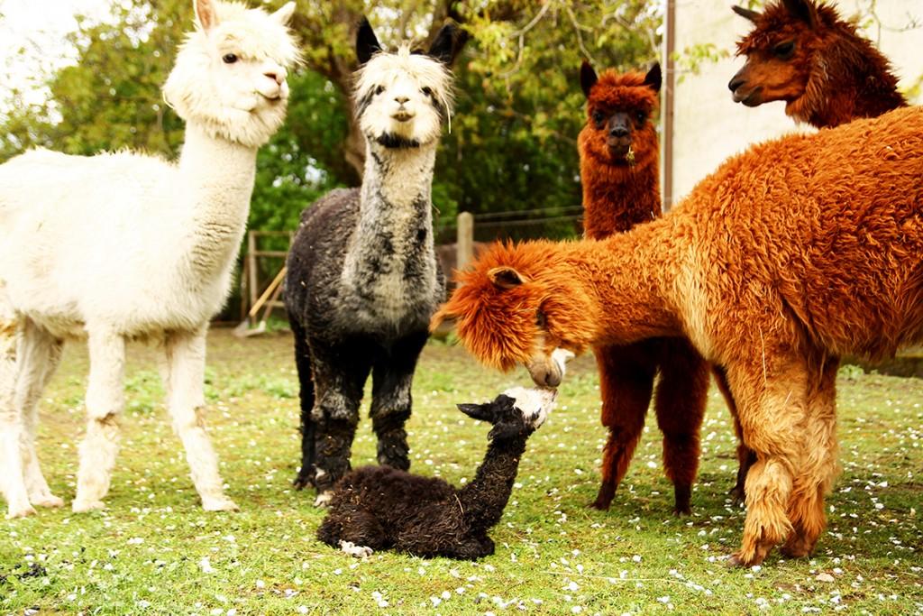 Noelia wird von der Herde begrüßt